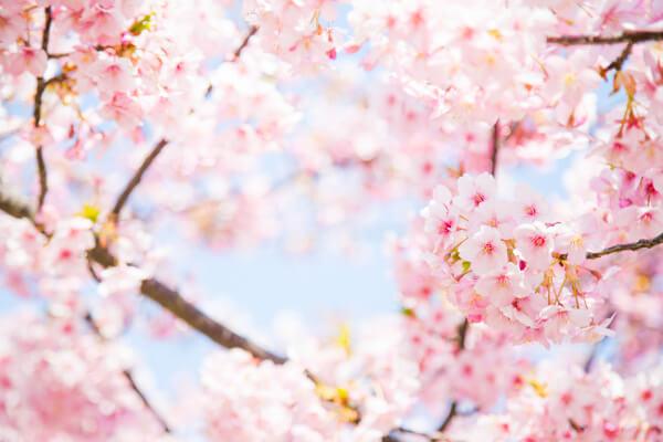 桜の開花予想✿✿✿